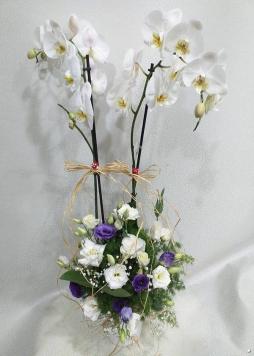 Arojmanlı çift dallı orkide