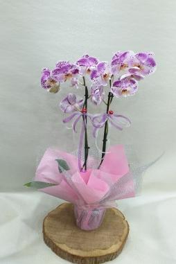 İthal özel renk orkide