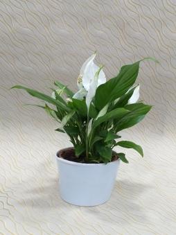Seramik saksıda barış çiçeği