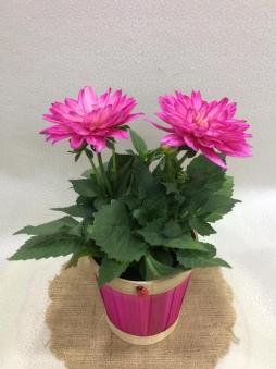 Hasır pembe sepetde yıldız çiçeği
