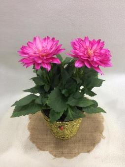 Annelere özel yıldız çiçeği