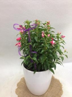 Seramik saksıda küpeli çiçeği