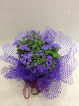 Maviş çiçeği