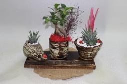 3'lü bonsai & haworthia zebra