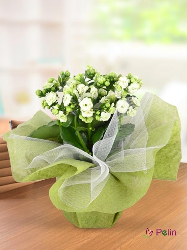 Kalançuha Saksı Çiçeği