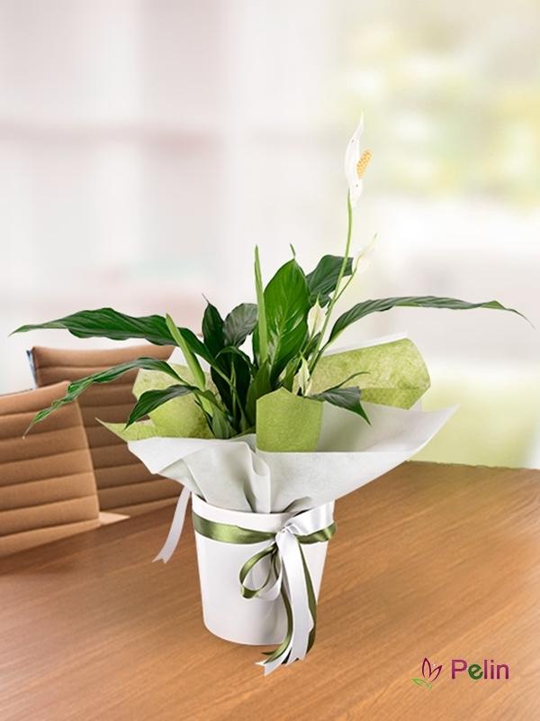 Seramik İçi Spatfilyum Saksı Çiçeği
