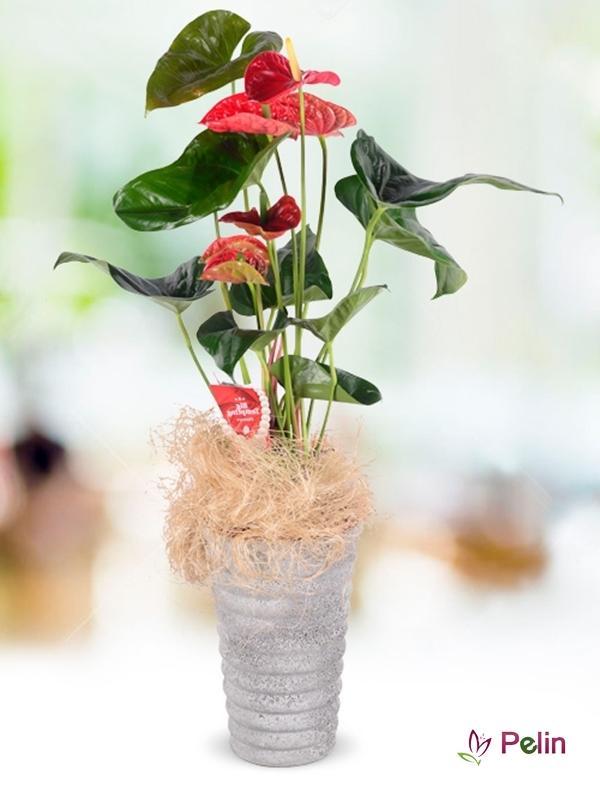 Naturel Seramik İçi Antoryum Saksı Çiçeği