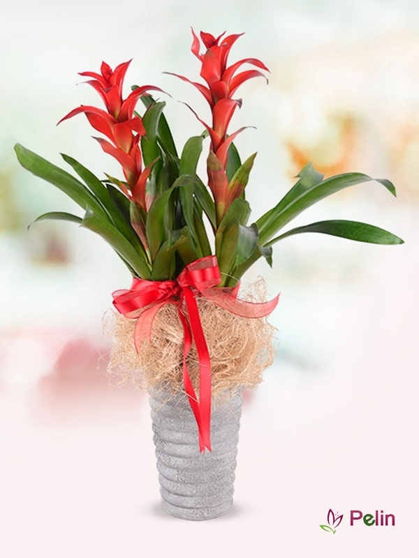 Vazoda 2'li Guzmanya Saksı Çiçeği