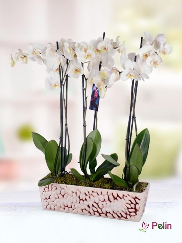 6 Lı Beyaz Phalaonopsis Orkidesi