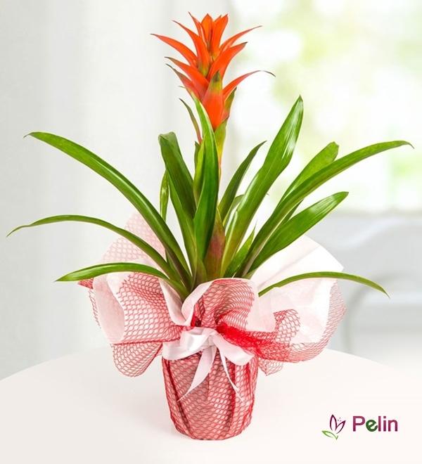Guzmanya Saksı Çiçeği