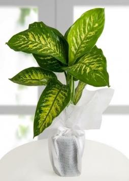 Tropik bitkisi
